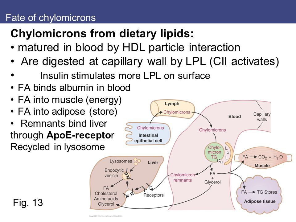 Chylomicrons from dietary lipids: