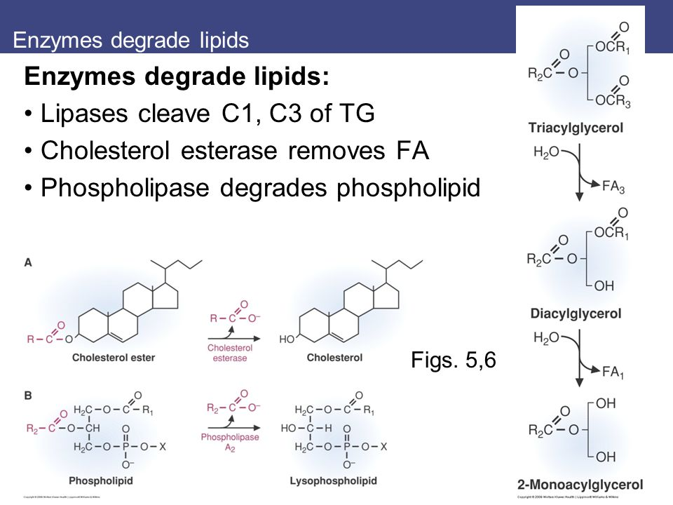 Enzymes degrade lipids