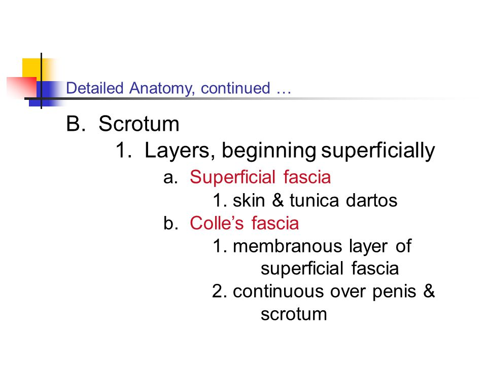 1. Layers, beginning superficially a. Superficial fascia