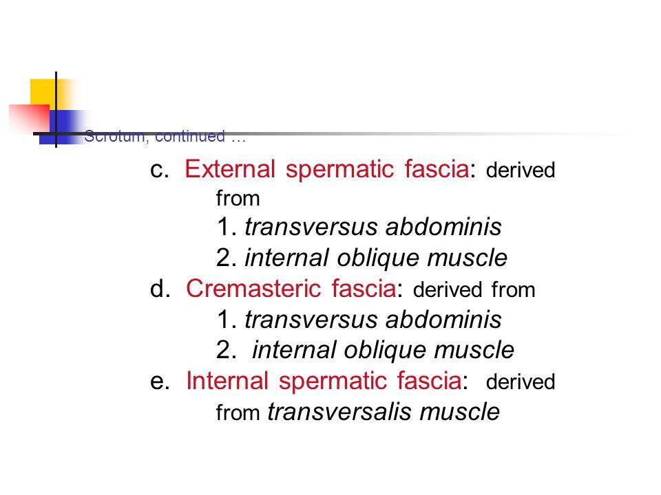 c. External spermatic fascia: derived from