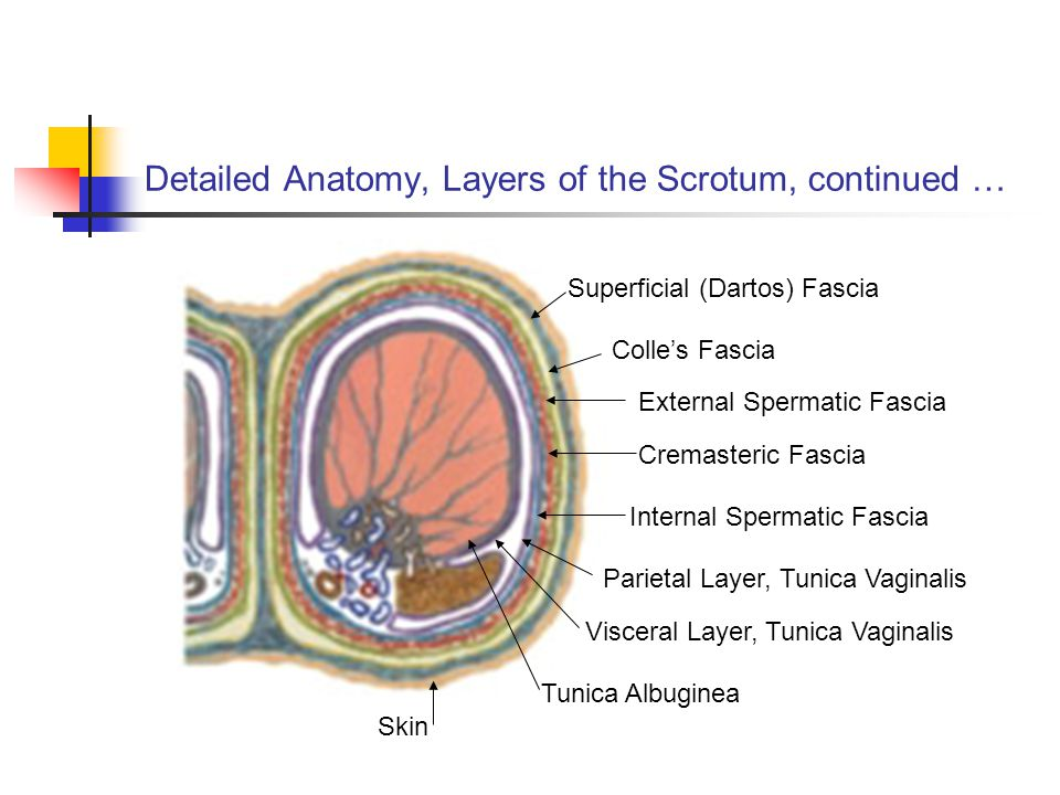 Detailed Anatomy, Layers of the Scrotum, continued …