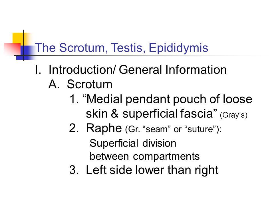 The Scrotum, Testis, Epididymis
