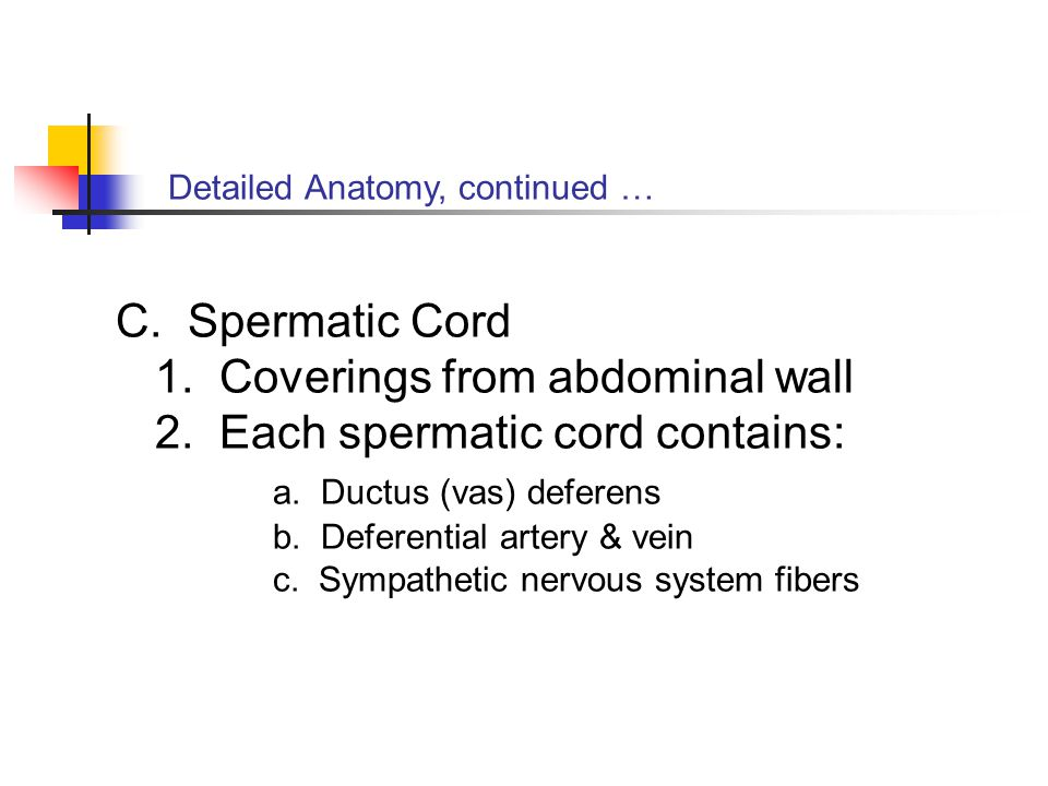 1. Coverings from abdominal wall 2. Each spermatic cord contains: