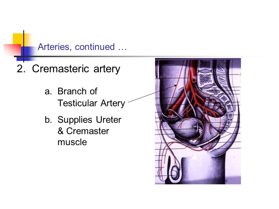 a. Branch of Testicular Artery