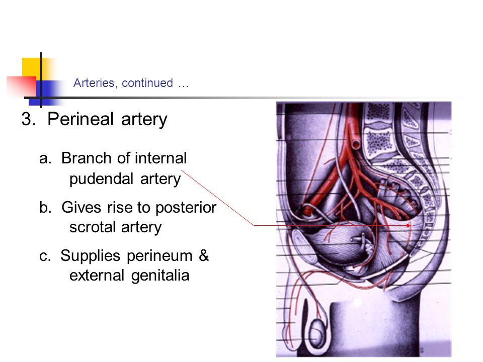 a. Branch of internal pudendal artery