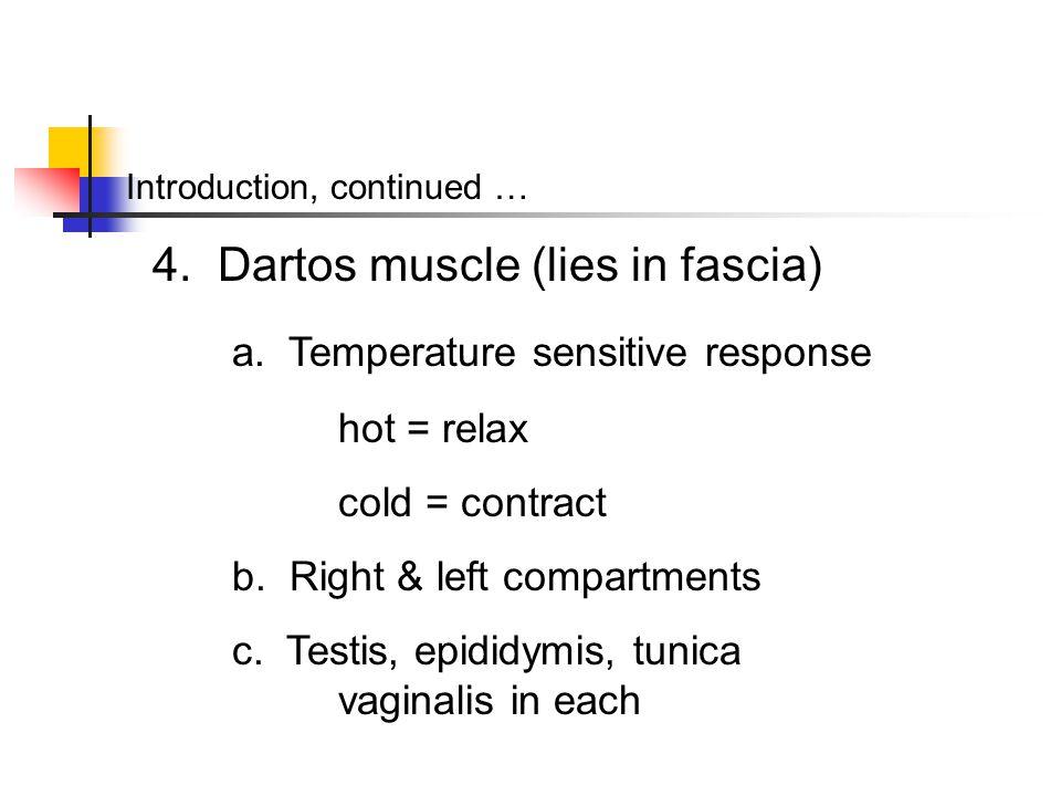 4. Dartos muscle (lies in fascia) a. Temperature sensitive response