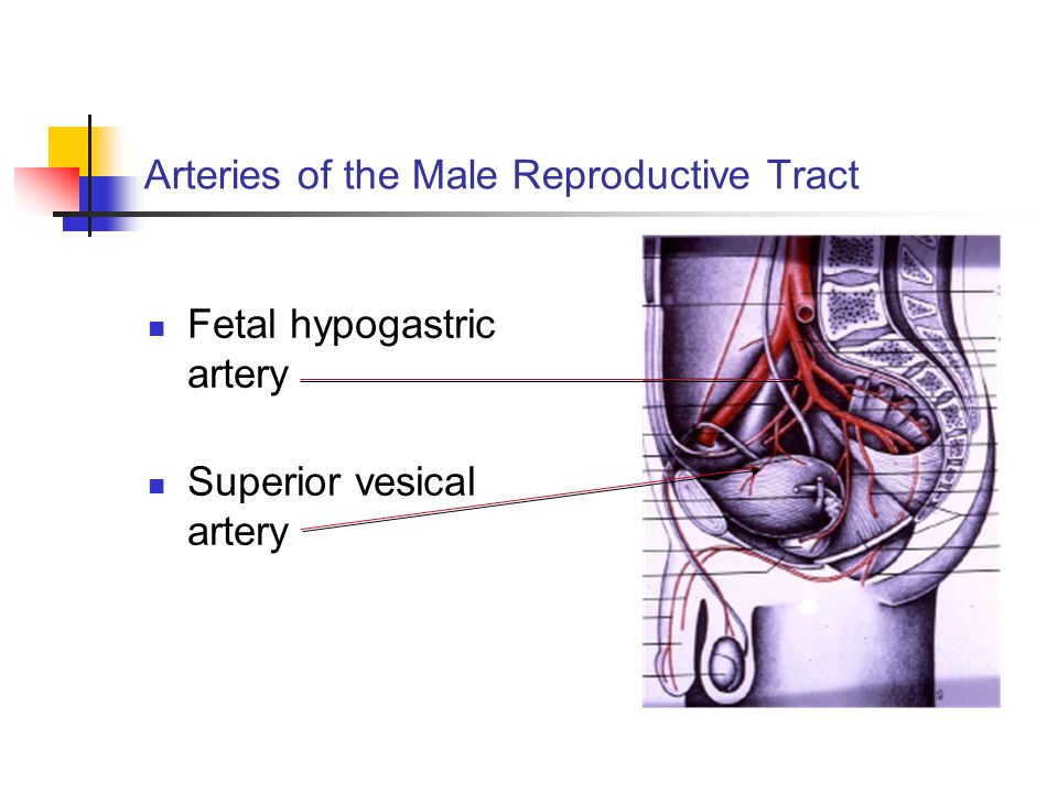 Arteries of the Male Reproductive Tract