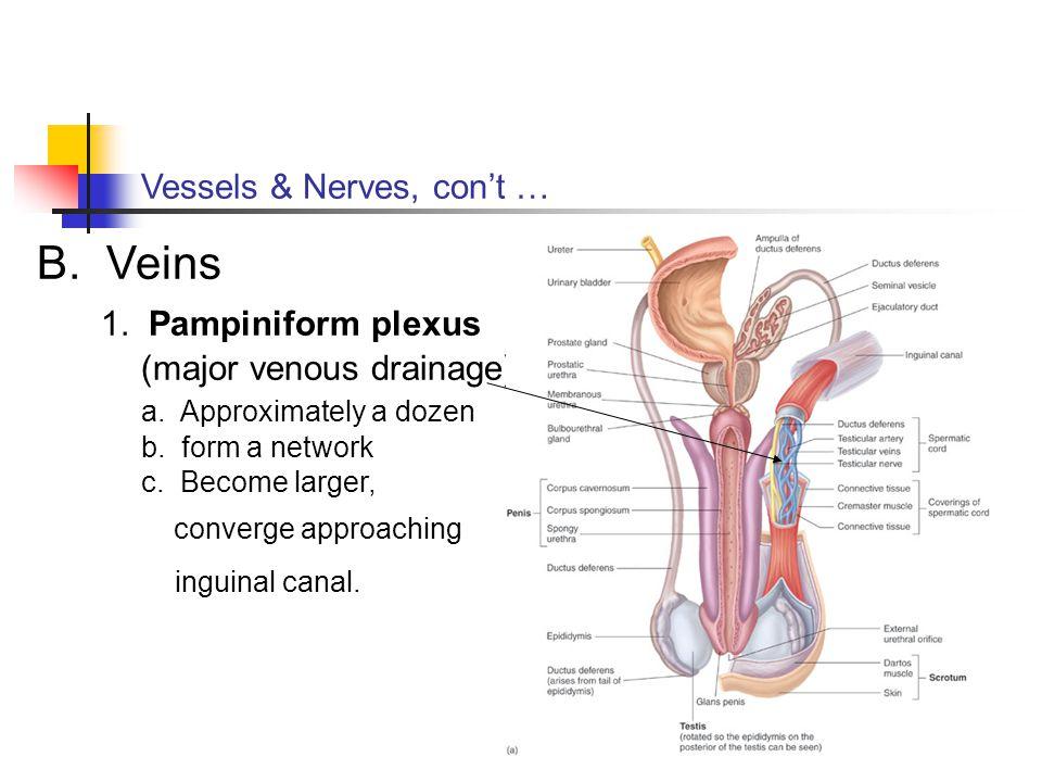 1. Pampiniform plexus (major venous drainage)