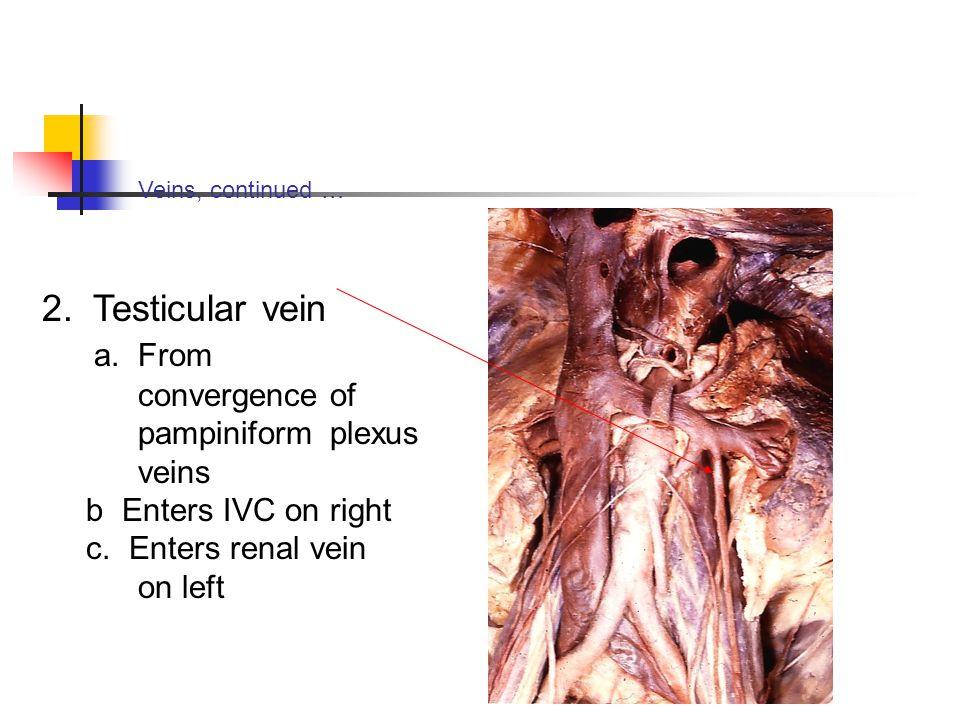a. From convergence of pampiniform plexus veins
