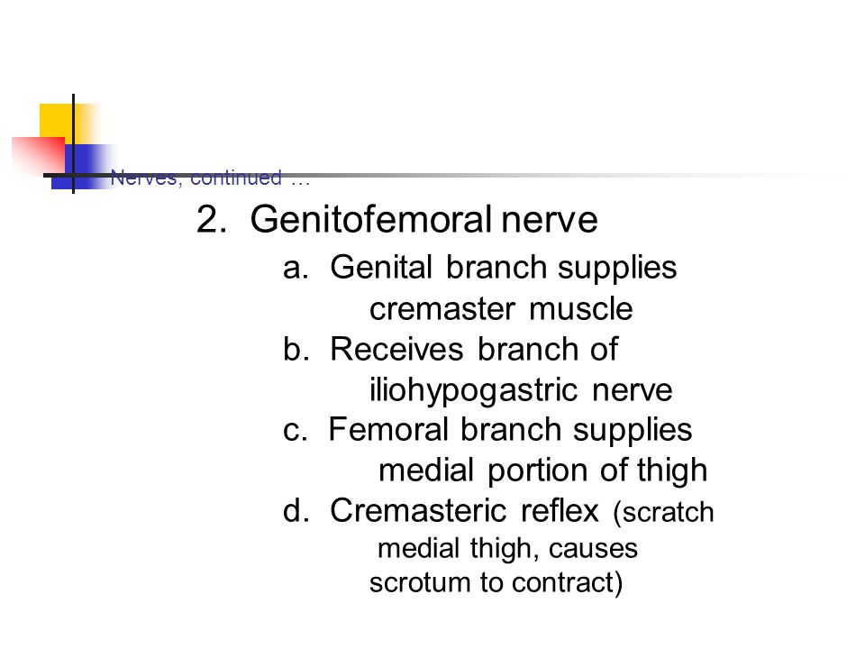 a. Genital branch supplies cremaster muscle