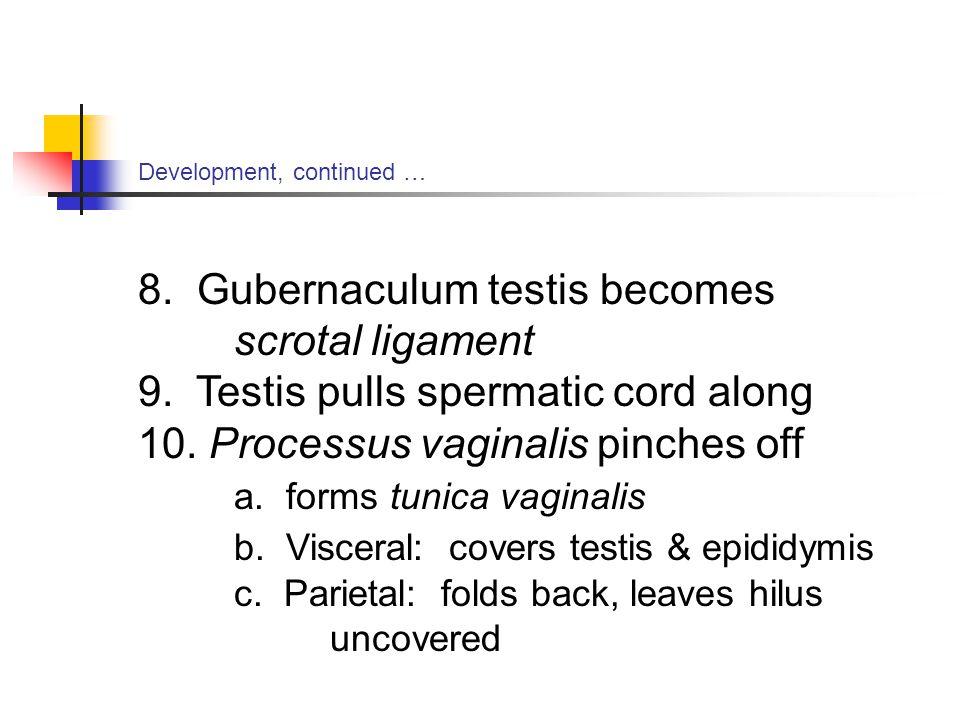 8. Gubernaculum testis becomes scrotal ligament