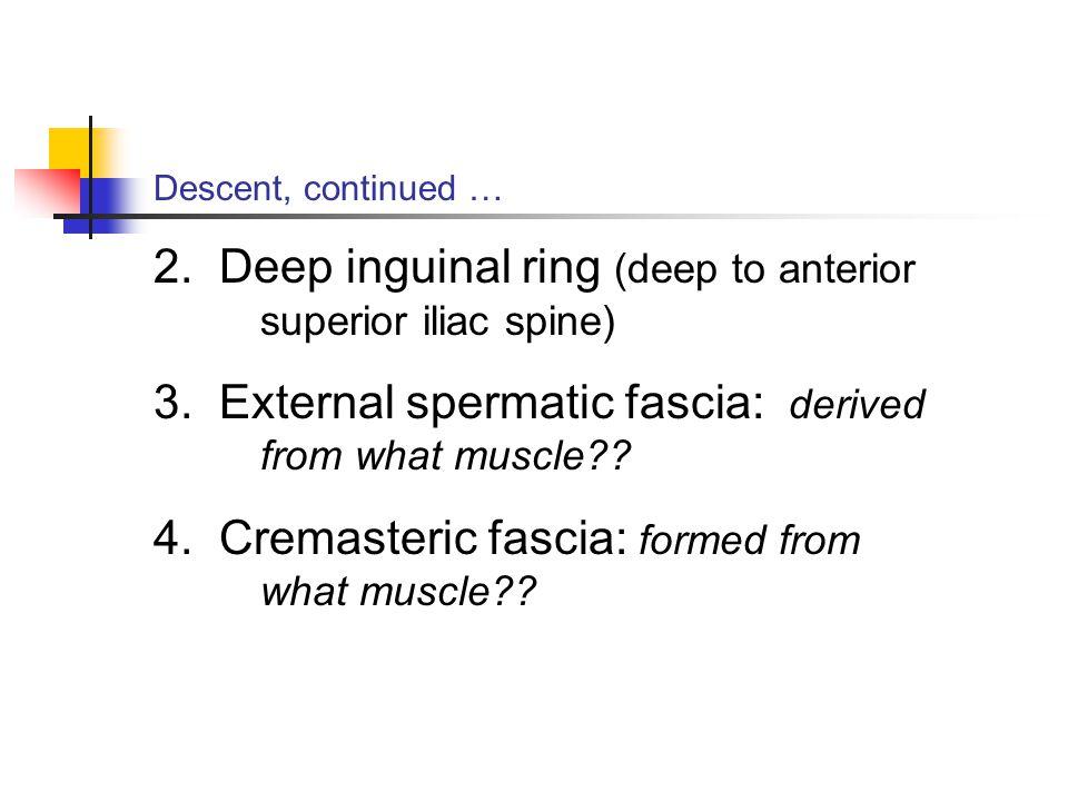 2. Deep inguinal ring (deep to anterior superior iliac spine)
