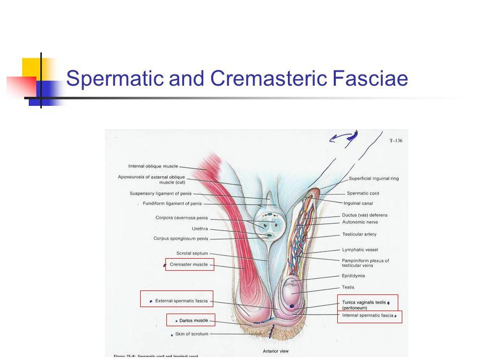 Spermatic and Cremasteric Fasciae