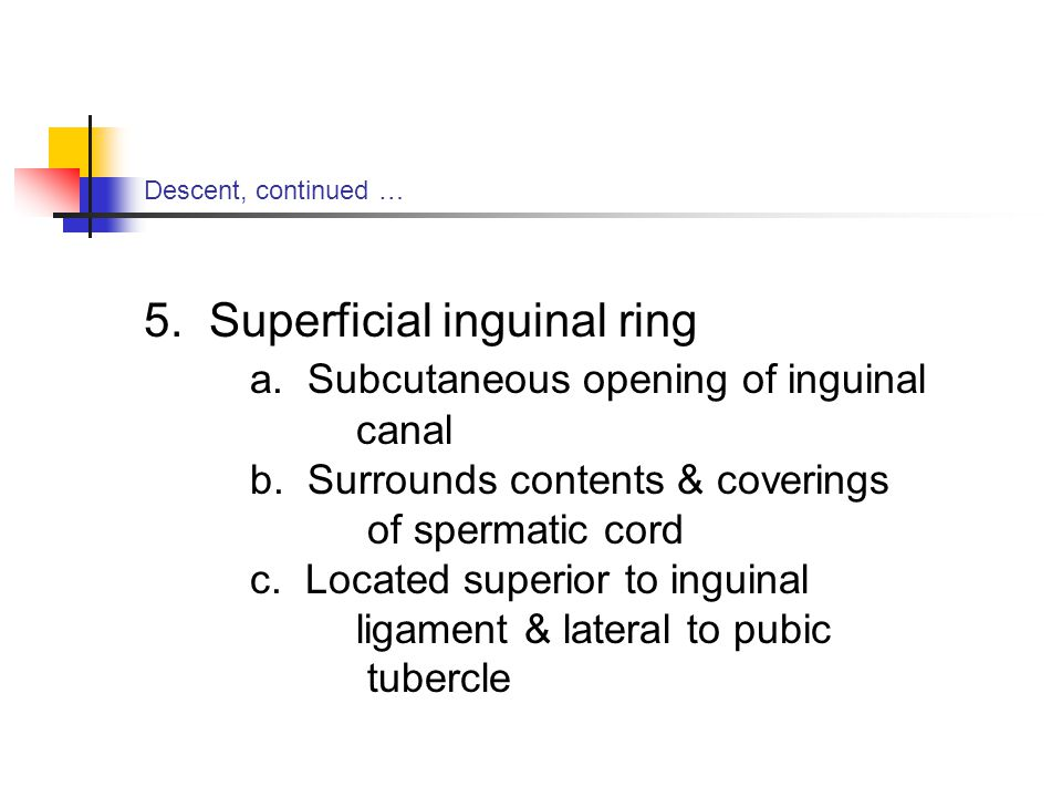 5. Superficial inguinal ring a. Subcutaneous opening of inguinal canal