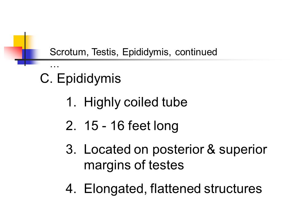 3. Located on posterior & superior margins of testes