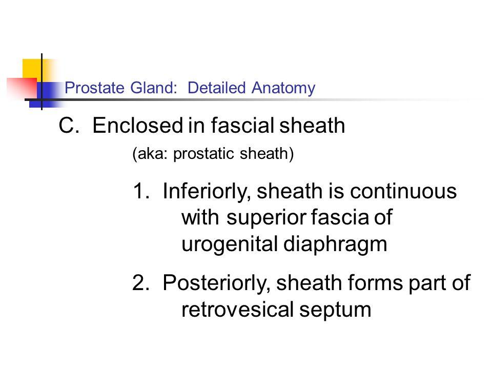 Prostate Gland: Detailed Anatomy