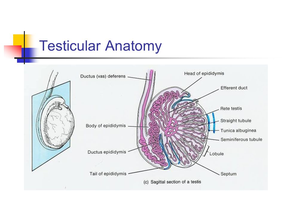Anatomy of the testis