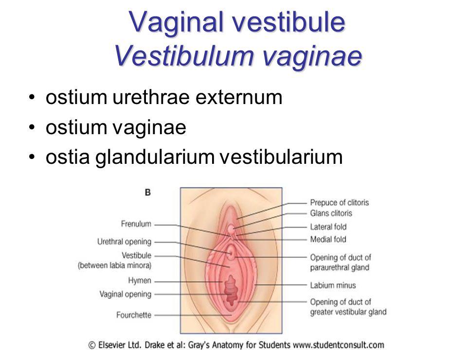 Vaginal vestibule Vestibulum vaginae