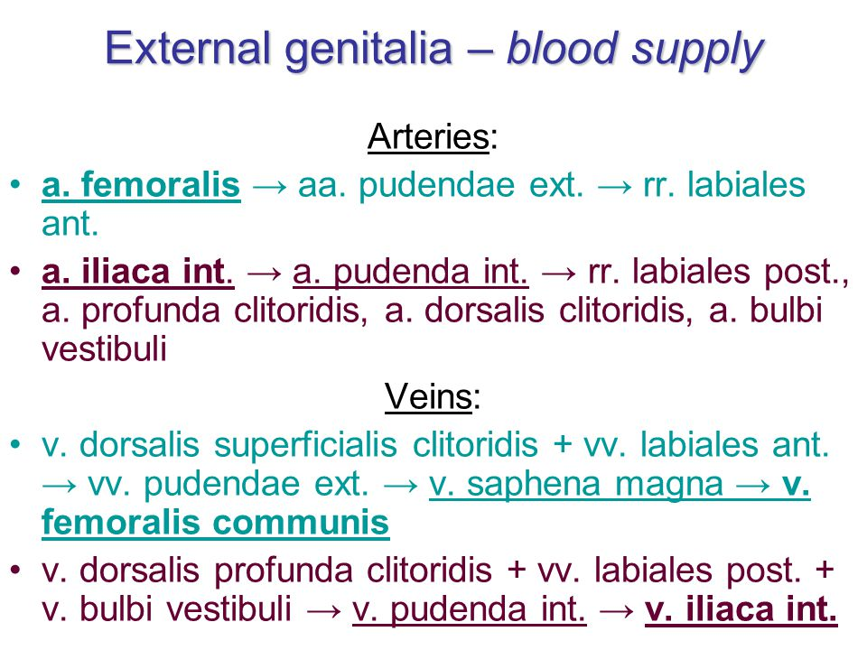 External genitalia – blood supply