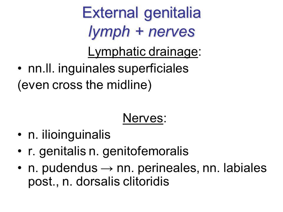 External genitalia lymph + nerves