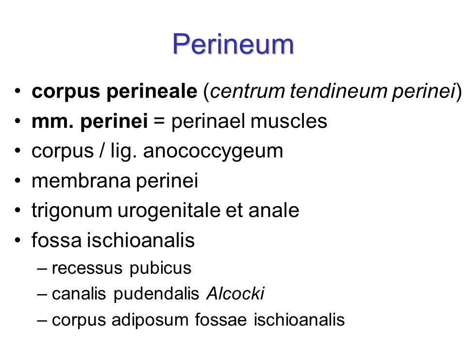 Perineum corpus perineale (centrum tendineum perinei)