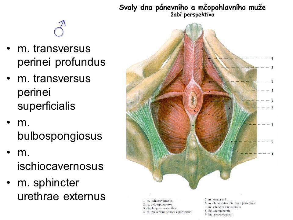 ♂ m. transversus perinei profundus