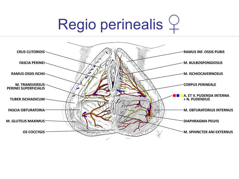 Regio perinealis ♀