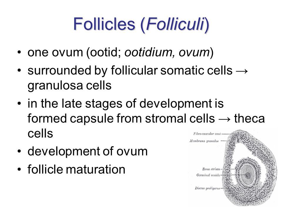 Follicles (Folliculi)