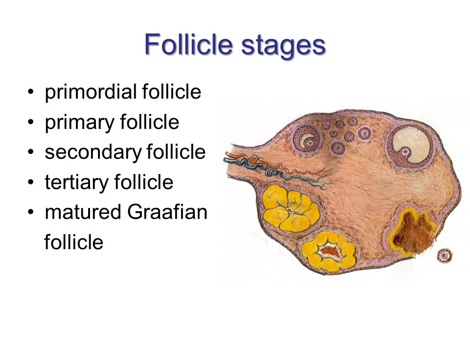 Follicle stages primordial follicle primary follicle