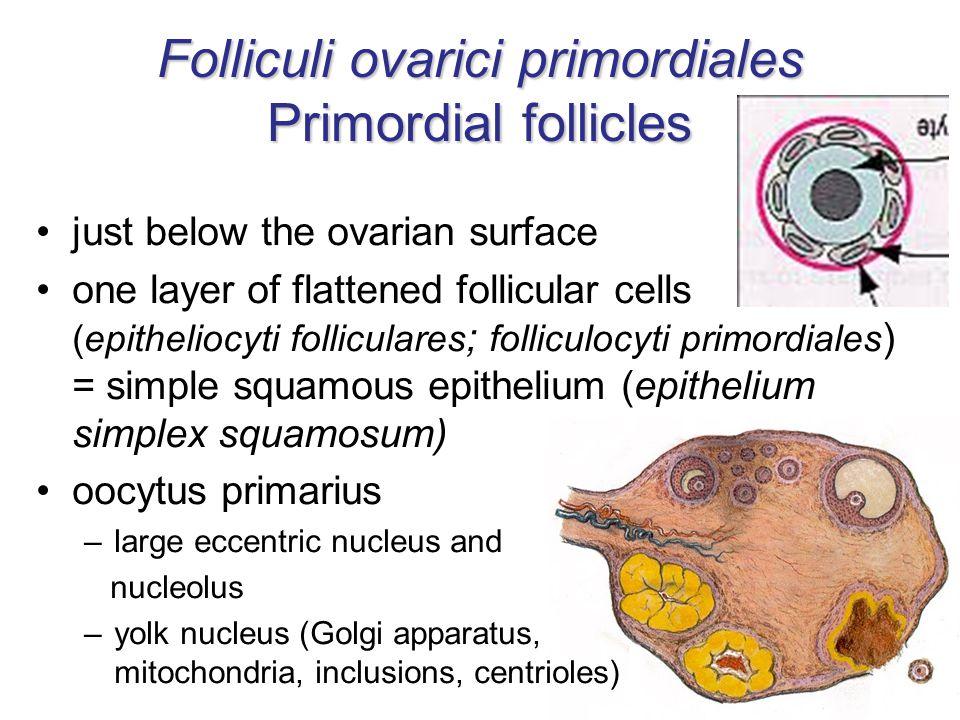 Folliculi ovarici primordiales Primordial follicles
