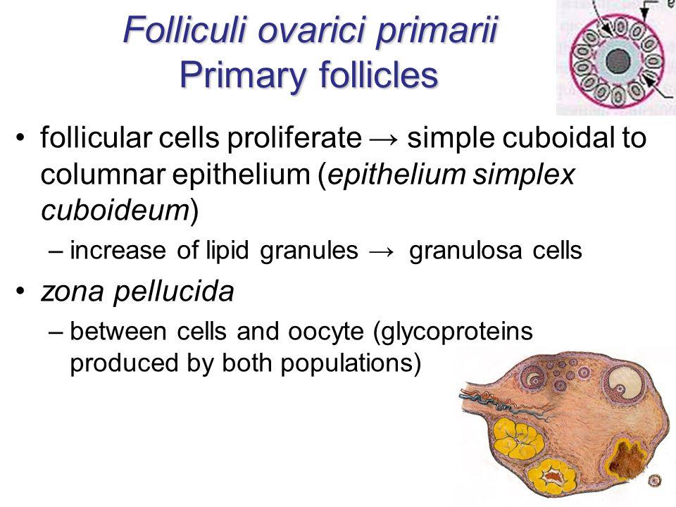 Folliculi ovarici primarii Primary follicles