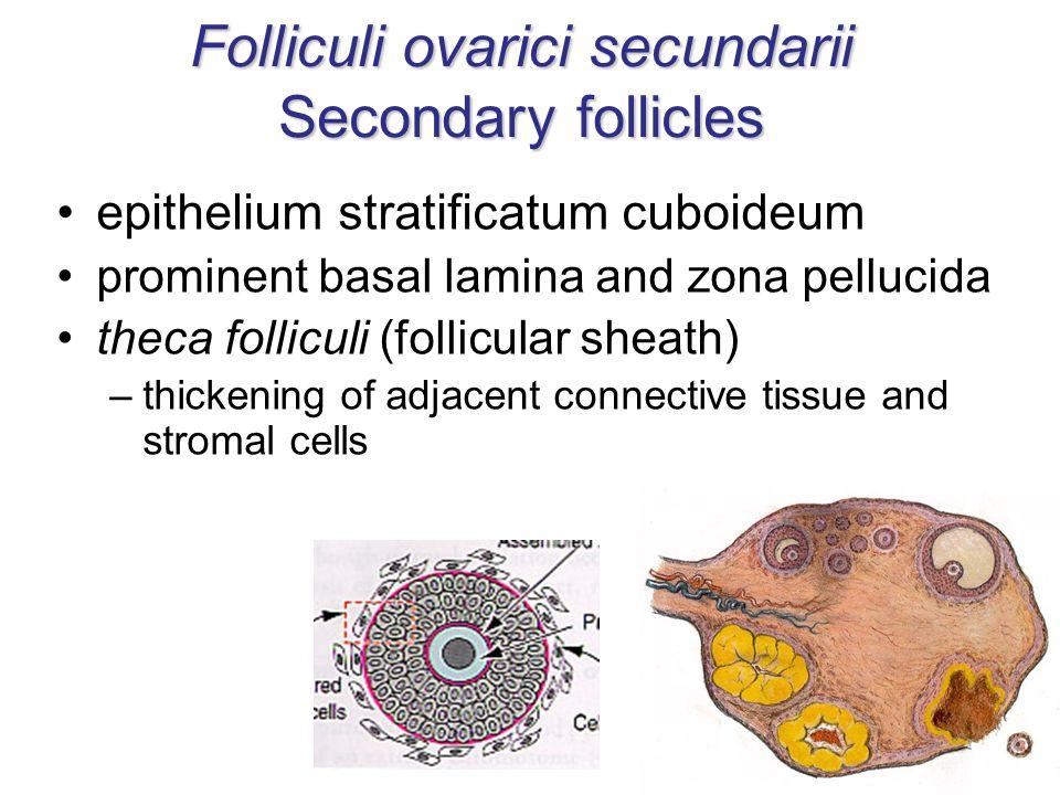 Folliculi ovarici secundarii Secondary follicles