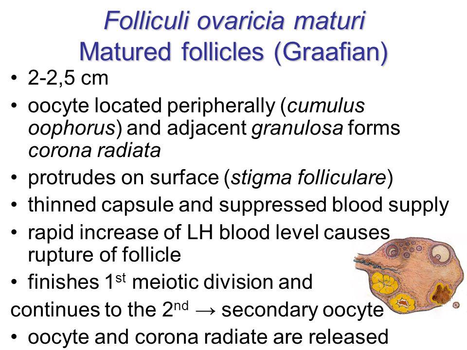 Folliculi ovaricia maturi Matured follicles (Graafian)