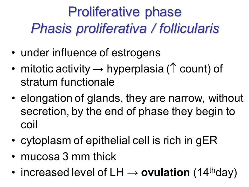 Proliferative phase Phasis proliferativa / follicularis