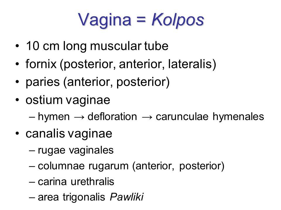 Vagina = Kolpos 10 cm long muscular tube