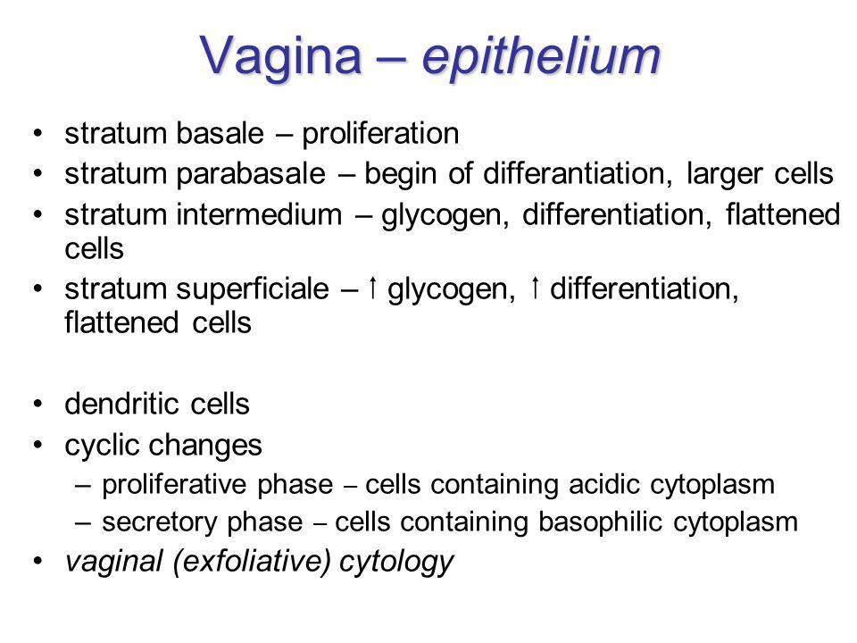 Vagina – epithelium stratum basale – proliferation