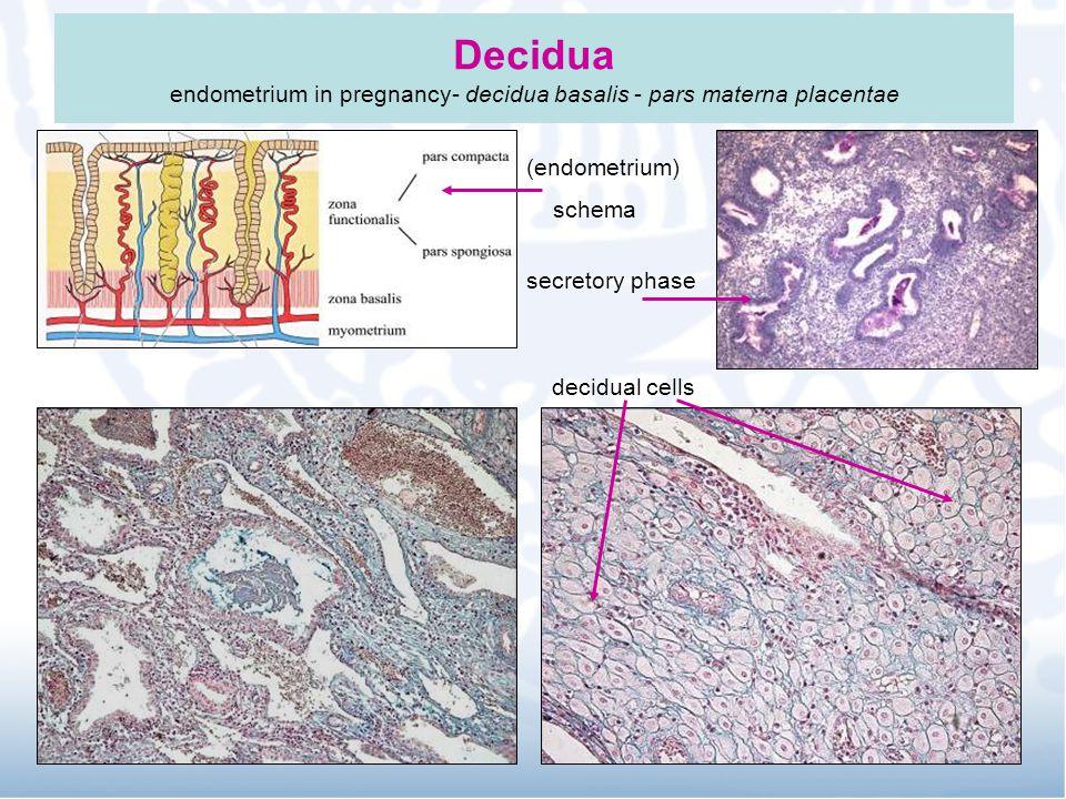Decidua endometrium in pregnancy- decidua basalis - pars materna placentae