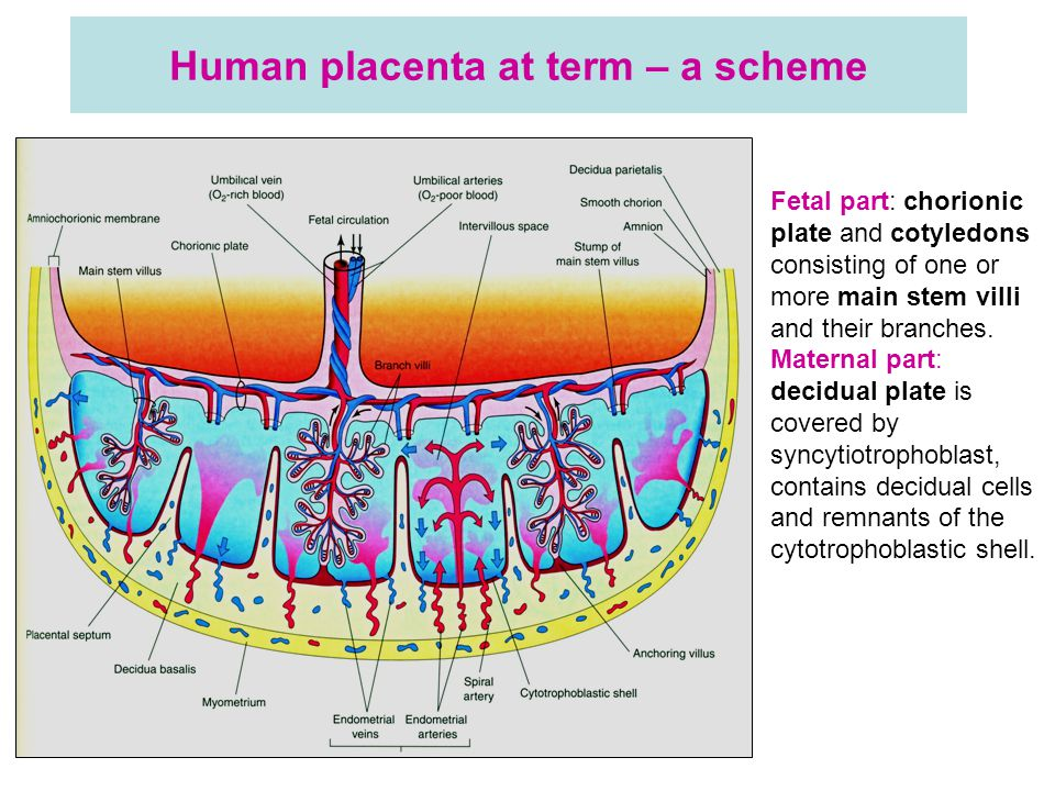 Human placenta at term – a scheme