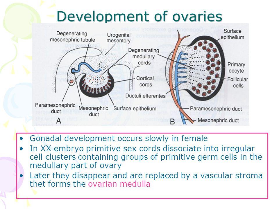Development of ovaries