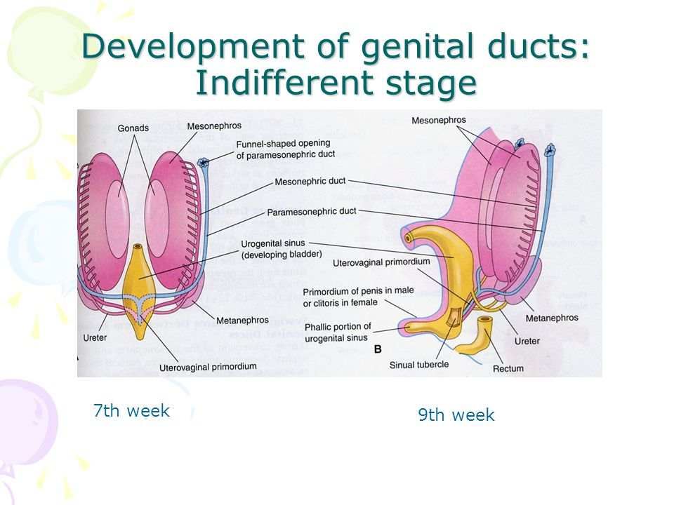 Development of genital ducts: Indifferent stage