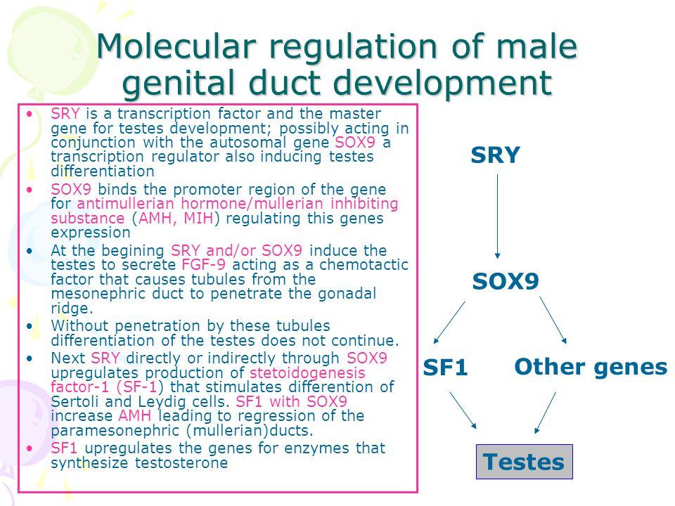 Molecular regulation of male genital duct development