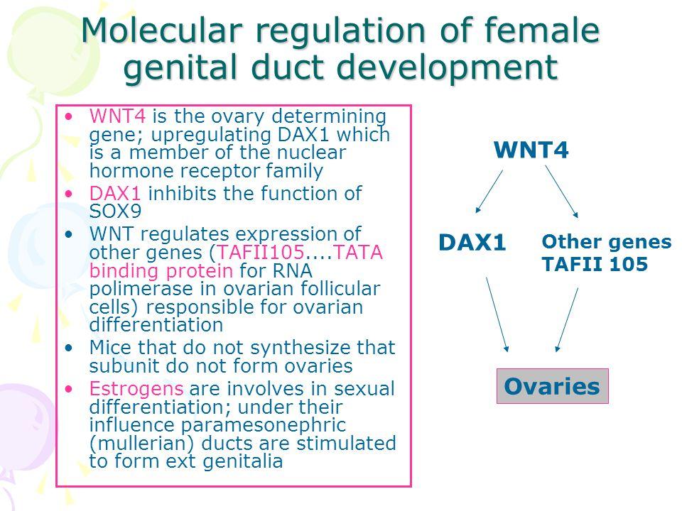 Molecular regulation of female genital duct development