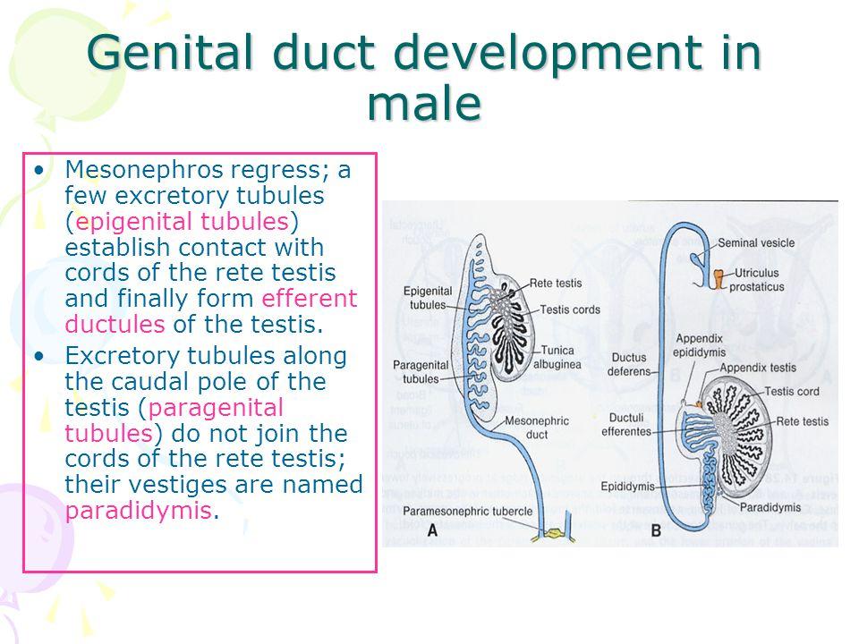 Genital duct development in male