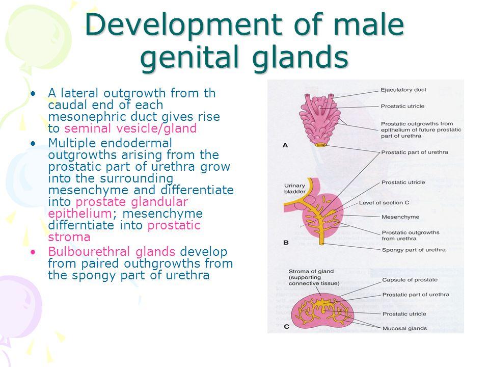 Development of male genital glands