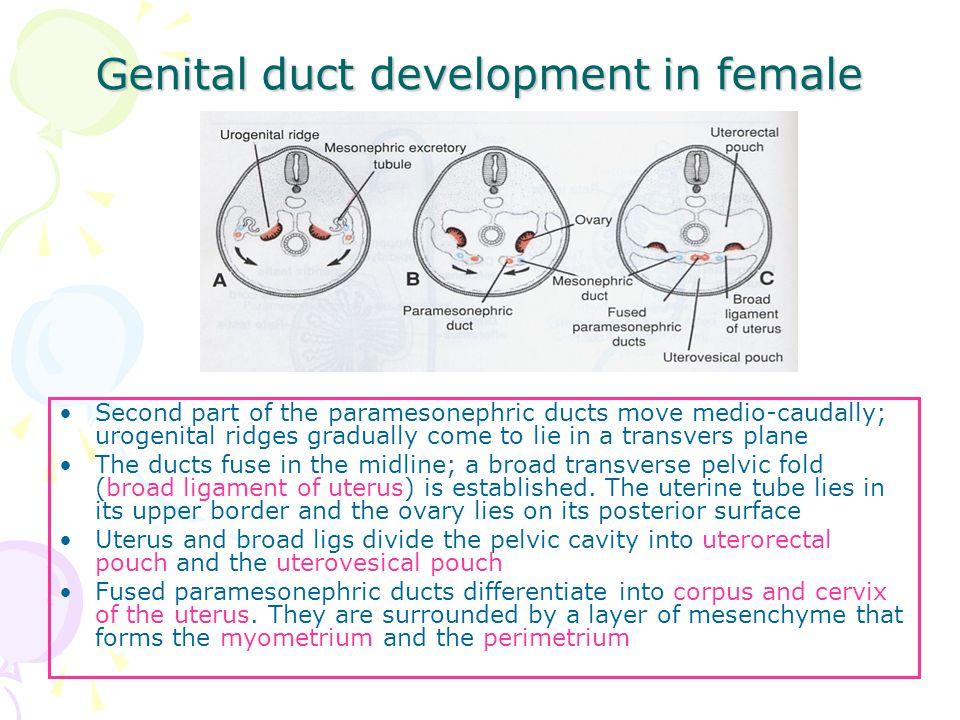 Genital duct development in female