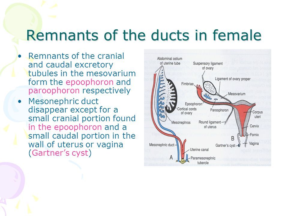 Remnants of the ducts in female