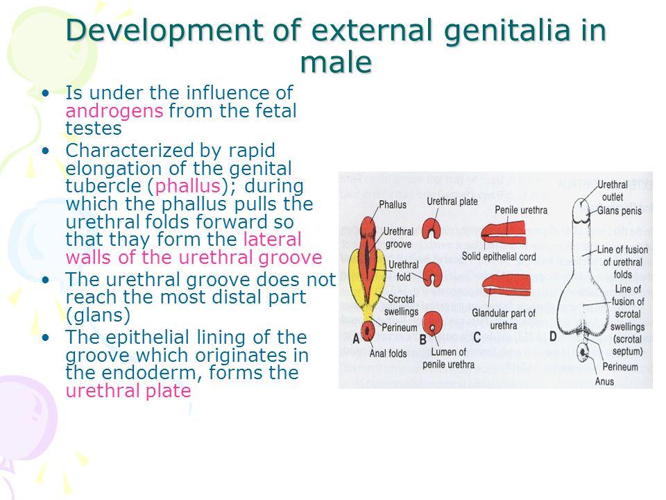 Development of external genitalia in male