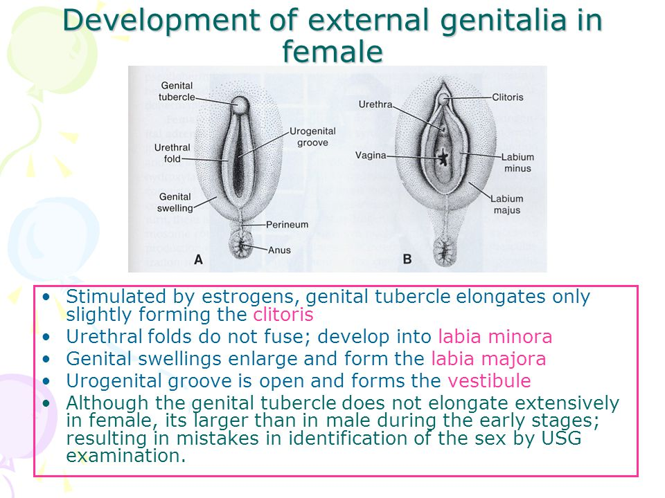 Development of external genitalia in female