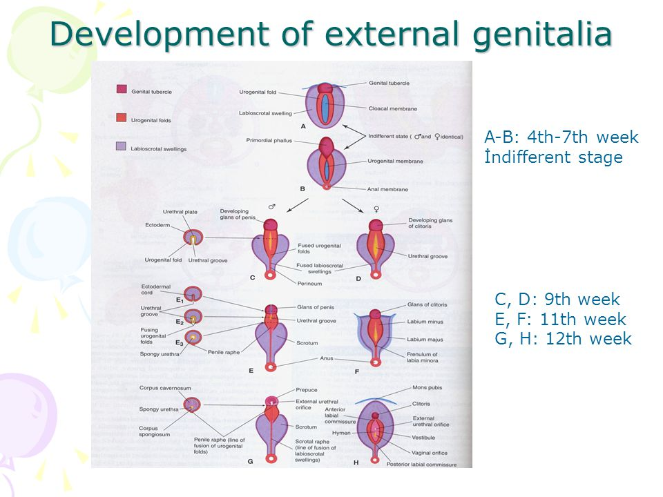 Development of external genitalia