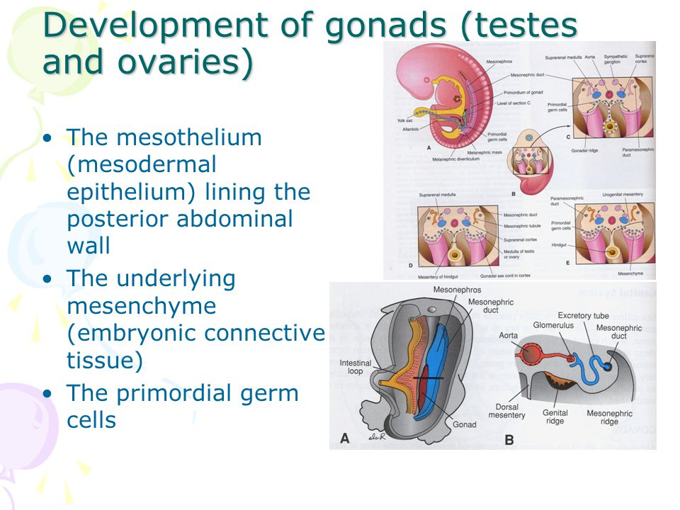 Development of gonads (testes and ovaries)